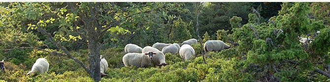 préservation du site de Chaussitre avec le paturage de moutons