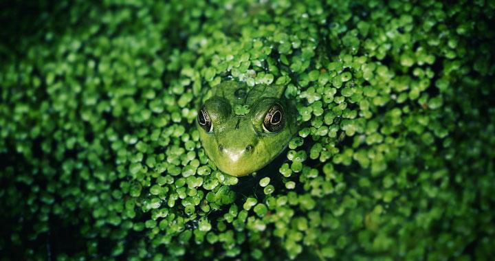 Soirée découverte des grenouilles et autres amphibiens par le CPIE