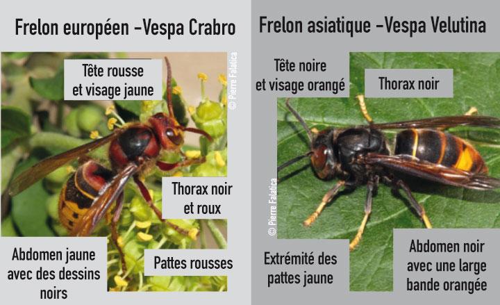 comparatif entre frelon asiatique et frelon européen